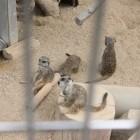【ミーアキャット】 6/26 ヒロくんとミントちゃんの間に赤ちゃんがまたまた1頭産まれて、7頭家族になりました。