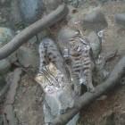 【アムールヤマネコ】大宮公園小動物園からきました。アムールヤマネコはイエネコにそっくりで見た目はとてもかわいいのですが、警戒心が強く威嚇してくる姿はまさに恣意佐奈猛獣!怒ると凄い迫力です。寒い地域で暮らすアムールヤマネコは冬でも元気です。