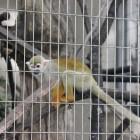 【コモンリスザル】 南アメリカの熱帯降雨林に生息しています。