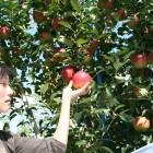 りんご狩り どのりんごも美味しいものばかり。自分で選ぶ楽しさを味わってください。ホームページにて食べごろりんごをご紹介しております。