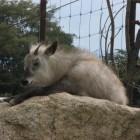 【ニホンカモシカ】  山岳地帯の森林に生息し、大型のヤギくらいの大きさで国の特別天然記念物に指定されています。長野県のシンボルになっています。