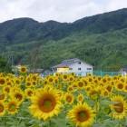 平谷のシンボル「ひまわり」シーズンになると一面のひまわり畑が広がります。