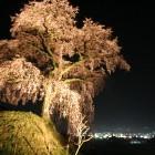 近くの一号古墳の上には、樹形が美しい「石塚の桜」もあります。