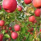 自然循環を大切にしている園地で木も本来の強さを持ち美味しさも栄養もギュッと詰まっています!