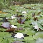 よしみ助産院近くに睡蓮大池がございます。