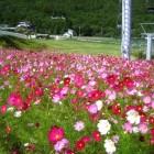 夏の治部坂高原には100万本のコスモスが ゲレンデ一面に咲いています。リフトから 眺めるコスモスは最高にきれいです。